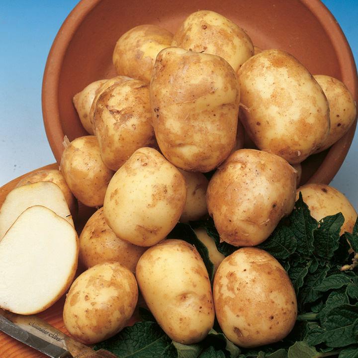 Seed Potatoes - Pentland Javelin