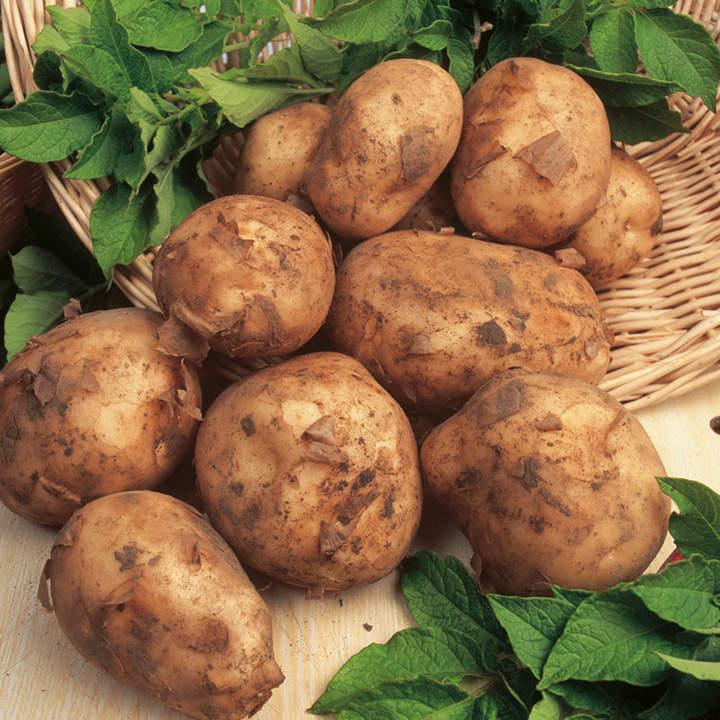 Seed Potatoes - Maris Bard 1kg