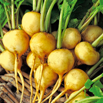 An unusual yellow-skinned variety producing a good crop of round to oval-shaped roots with tasty, crisp white flesh. SMALL SPACES made easy! Are you f