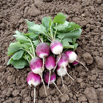 A cross between a round and longer type, producing oval-shaped, purple-and-white roots. With its peppery tang it is perfect for salads and is fast-cro