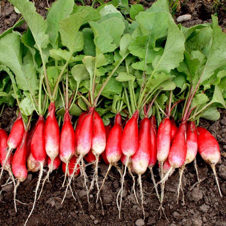 Radish (Organic) Seeds - French Breakfast