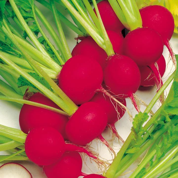 Radish Seeds - Scarlet Globe
