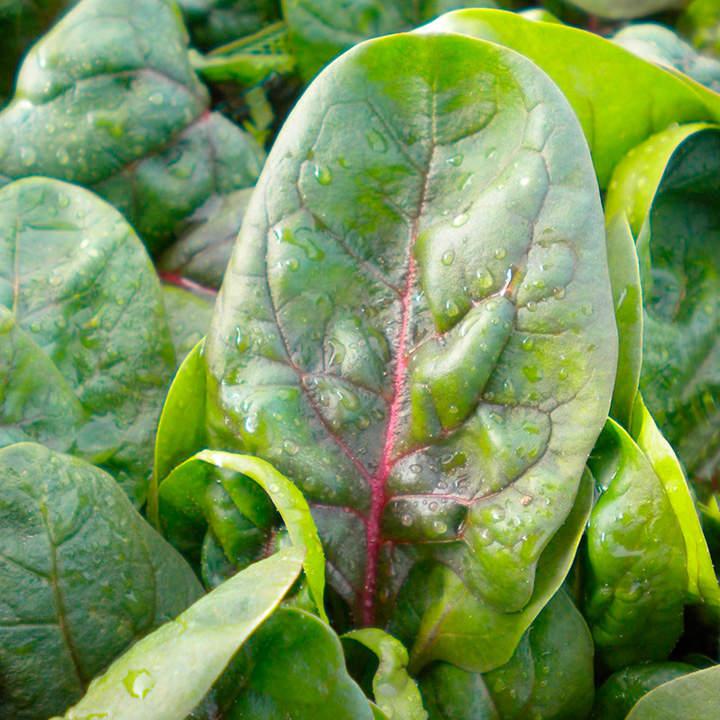 Spinach Seeds - F1 Rubino