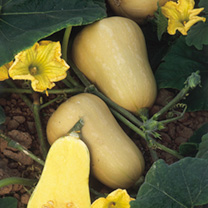 Click to view product details and reviews for Squash Organic Seeds Butternut.