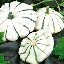 A Scallop/Patty Pan shaped squash with creamy-ivory skin and contrasting green radial streaking (incredibly ornamental! ). This flavoursome heirloom v