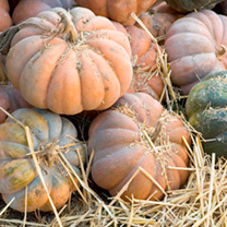 A traditional variety from southern France, these gorgeous, big flat pumpkins are shaped like a big wheel of cheese, and are heavily lobed and ribbed.
