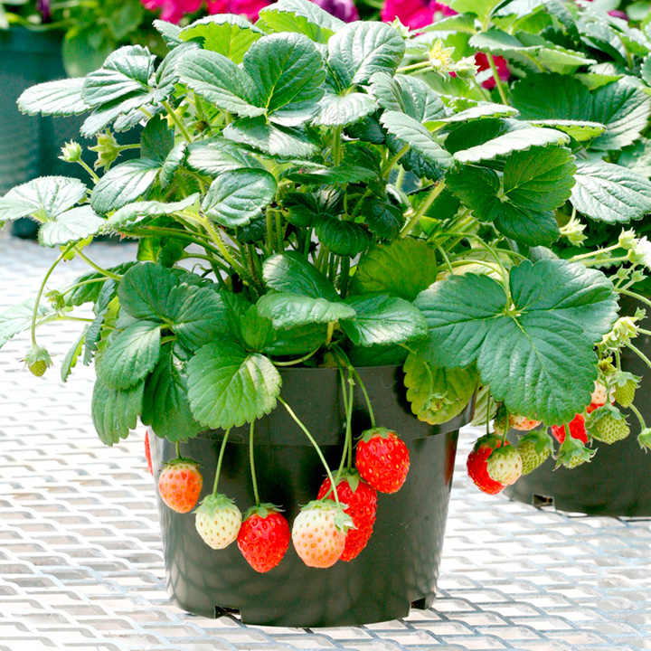 strawberry seeds f1 temptation view all vegetable seeds