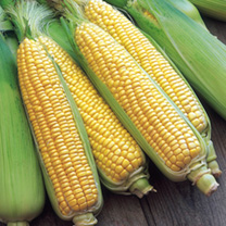 A top tip when growing Sweetcorn