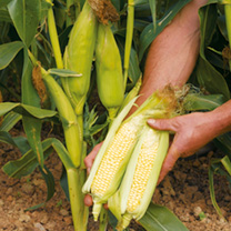 Sweet Corn Seeds - Earlibird