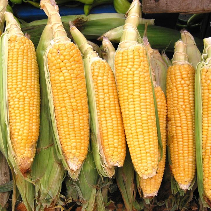 Sweet Corn Seeds - F1 Prelude