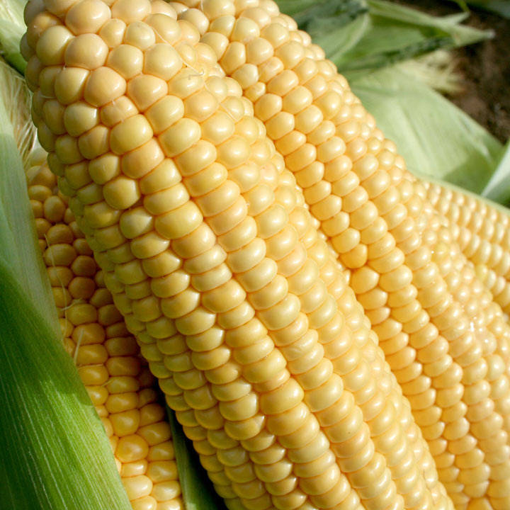 Sweet Corn Seeds - F1 Goldcrest