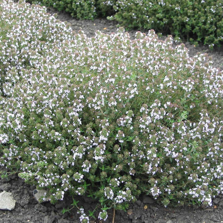Herb Seed - Thyme Orange-Scented