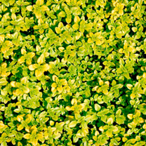 This herb is a lovely garden plant that can be put to many uses from brightening up gravel paths to mixed borders or even a complete lawn, but it is a