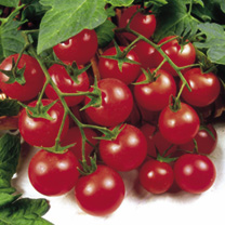Grafted Tomato Quad Cherry Plant - Magni
