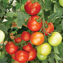 Grafted Tomato Plants - Moneymaker