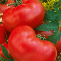 Click to view product details and reviews for Tomato Seeds Faworyt.
