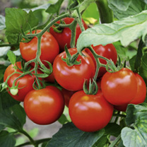 Click to view product details and reviews for Tomato Seeds F1 Fantasio.