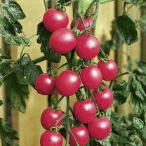 Tomato Plant - F1 Pink Baby Plum