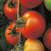 Grafted Tomato Plants - F1 Shirley