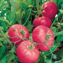 Tomato Seeds - F1 Brandy Boy