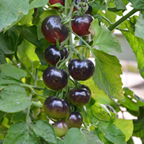 Grafted Tomato Plants - The Black Tomato Indigo Rose