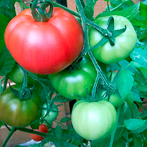 Tomato Grafted Plants - Heinz 1370