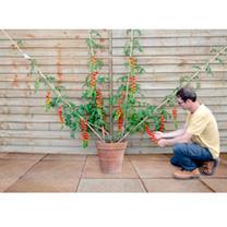 Grafted Tomato Quad Plum Plant - Minerva