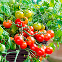 Tomato Plants - Tumbling Bella