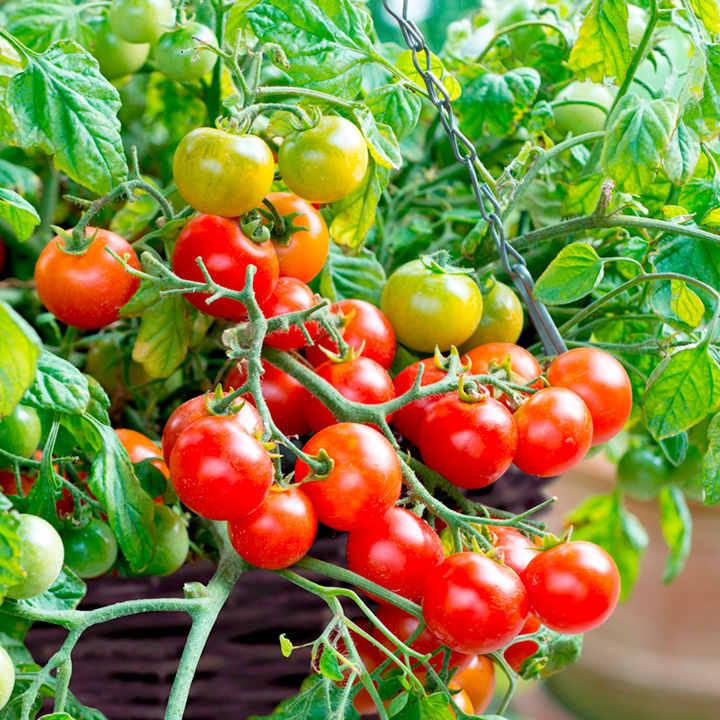 Tomato Seeds - F1 Tumbling Bella (Terenzo)