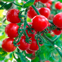 Grafted Tomato Plant - F1 Crimson Cherry