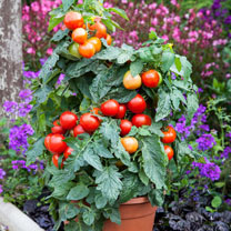 Grafted Tomato Plant - F1 Summerlast