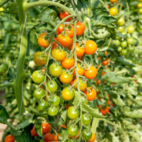 Grafted Tomato Plants - F1 Honeycomb