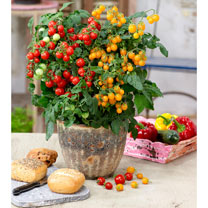 Tomato Plants - Sweet & Sturdy Twin