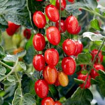 Grafted Tomato Plant - Tutti Frutti F1 Grape