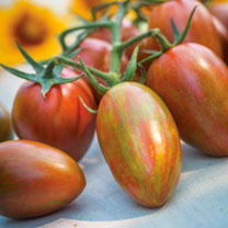 Tomato Seeds - Shimmer F1