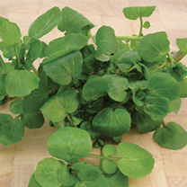 A crisp-textured variety with a delicious pungent flavour. High in vitamin C. Grows well in wet soil. Crop as baby leaves or allow to mature.