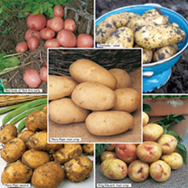 Seed Potatoes - Suttons Premium Selection Exclusive Collection