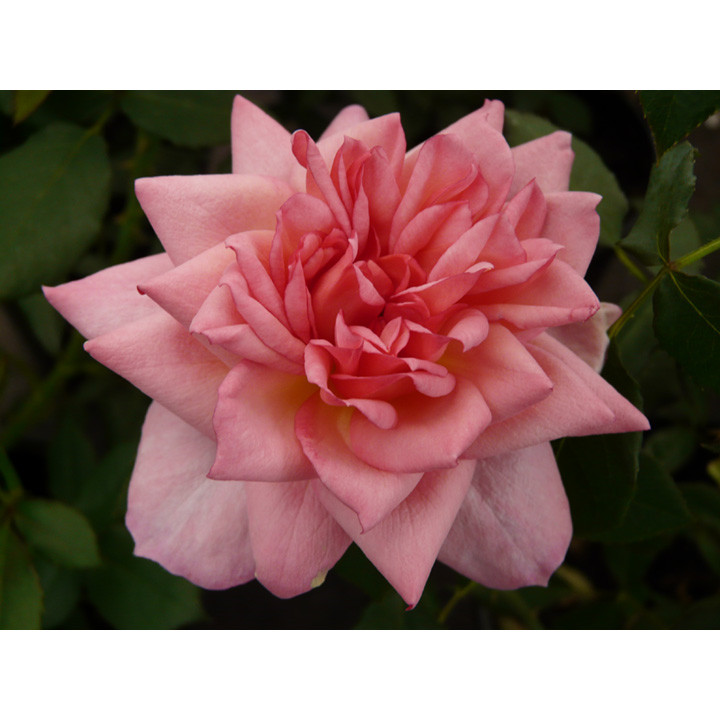 Rose Plant - Channabelle