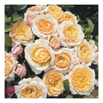 Rose Plant - Belle of the Ball