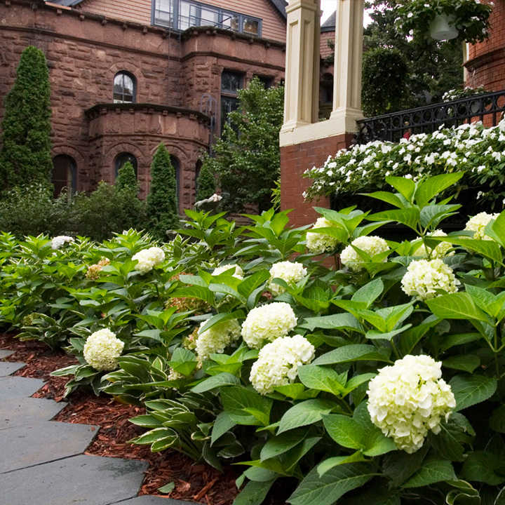 Hydrangea Endless Summer The Bride - Hydrangea Plant - Trees and ...