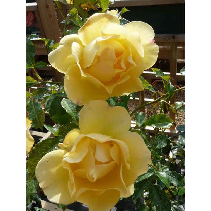 Rose Plant - The Brownie Rose
