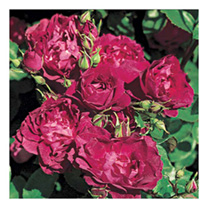 Rose Plant - Cardinal Hume
