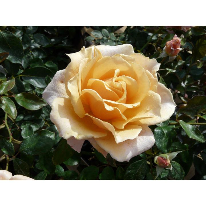 Rose Plant - Caron Keating