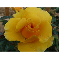An excellent rose for producing a mass of golden yellow hybrid tea type blooms. Good disease resistance. Scent 3. Colour gold. Height 80cm. Bush varie