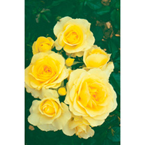 Rose Plant - City Livery