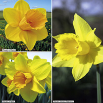 10% of Daffodil Sales to Marie Curie