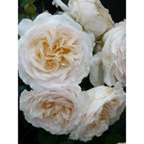 Rose Plant - Cream Abundance