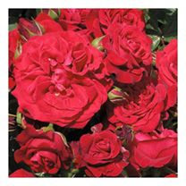 Rose Plant - Cumberland