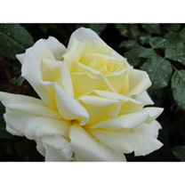 Rose Plant - Diamond Days