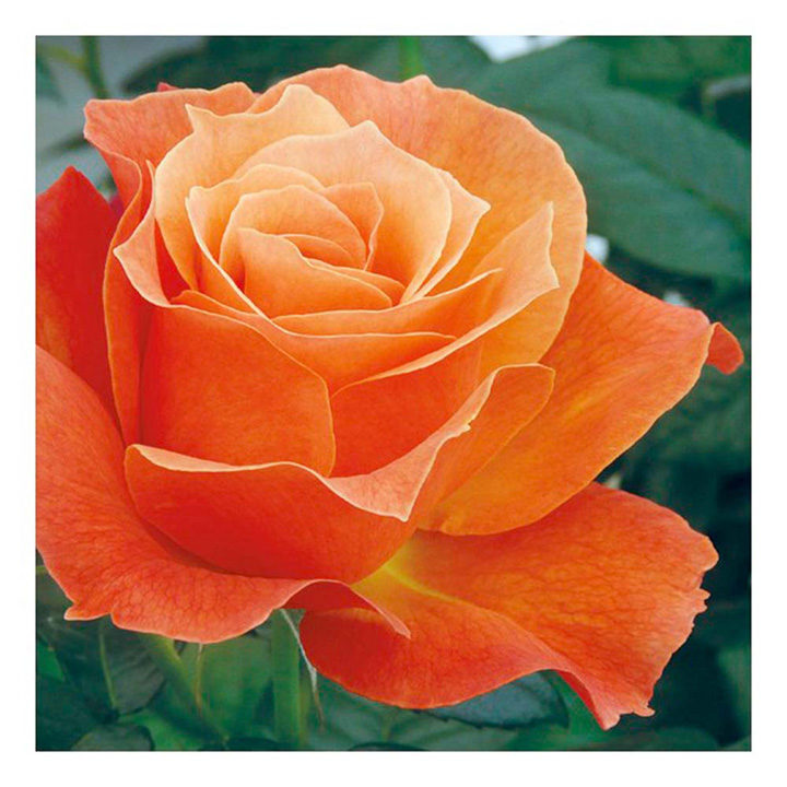 Rose Plant - Fellowship